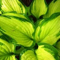 Ready Potted 1 Litre Pot   HOSTA ALBOPICTA PLANTAIN LILY